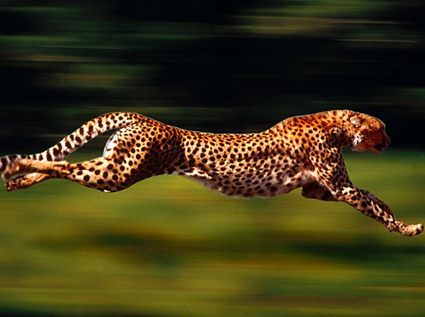 LR_cheeta